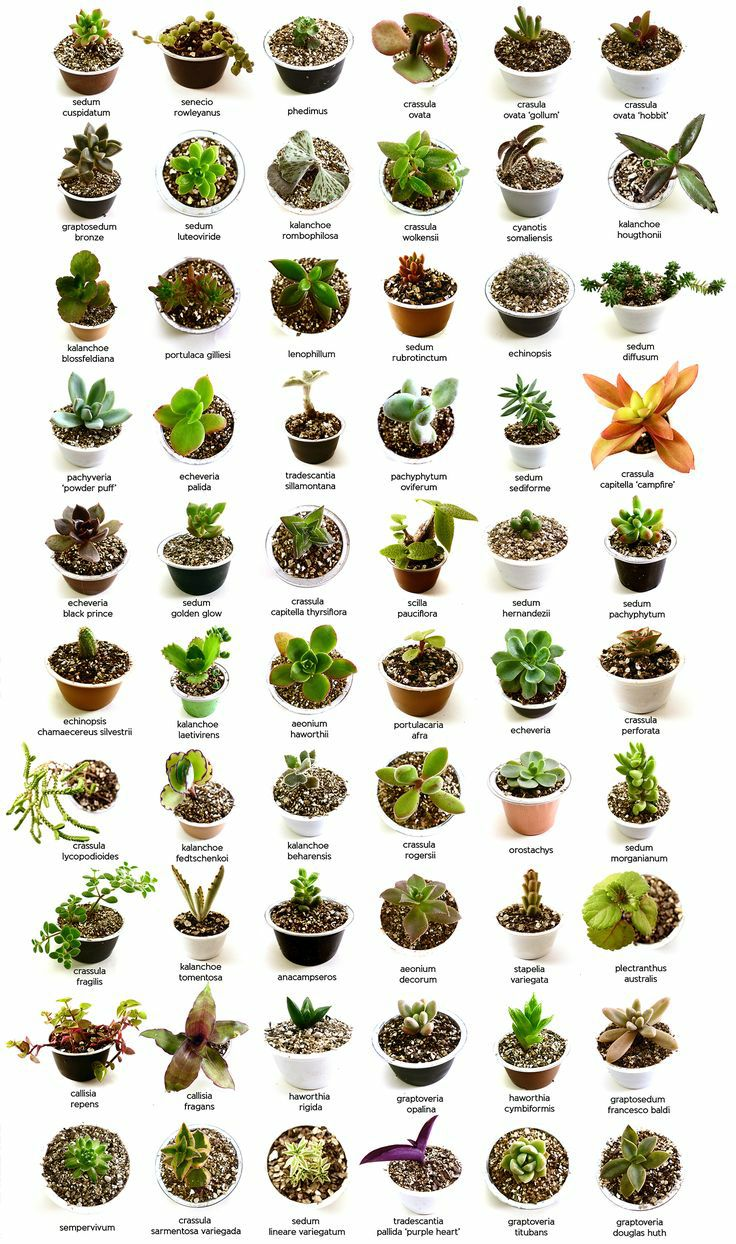 Identify What Types Of Succulents You Own Succulent Plants Uk
