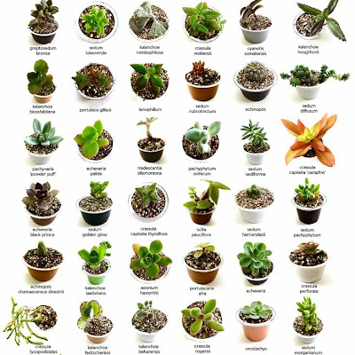 Identify What Types Of Succulents You Own