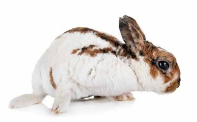 Get to Know rabbit Rex
