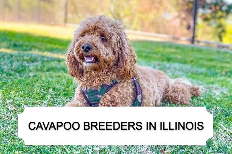 Best Cavapoo Breeders in Illinois