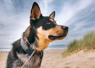 A close up photo of a blue Cattle Dog at the beach with a sand dune covered in grass in the background