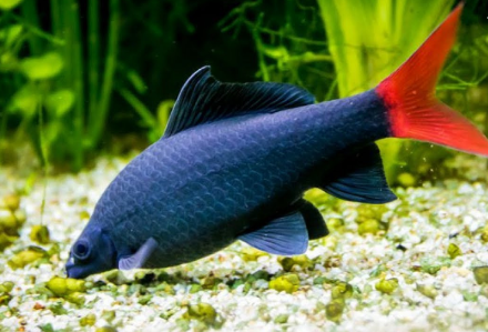 ikan redfin