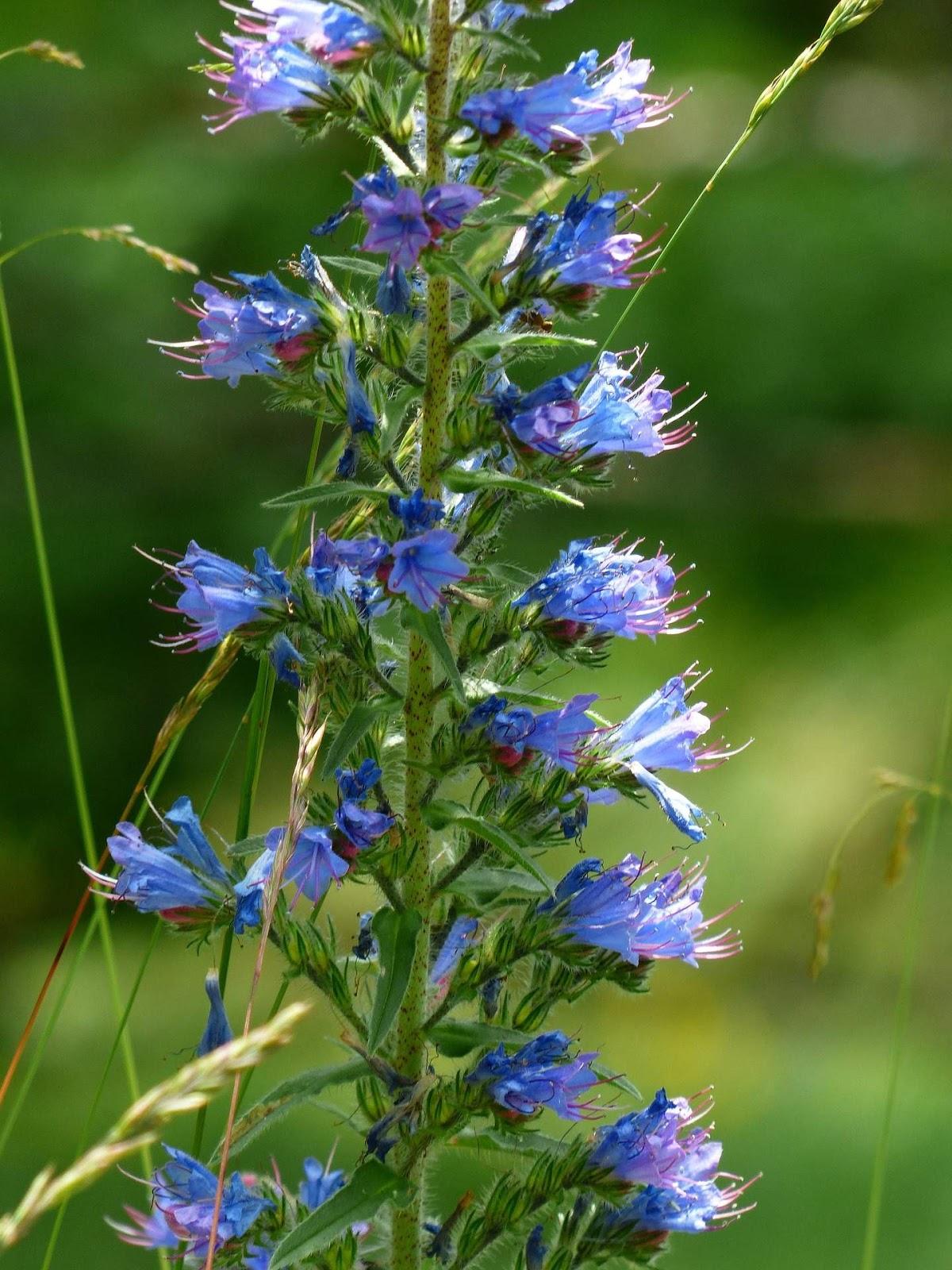 Niebieskie Kwiaty Polne Ciete Ogrodowe Bez Ogrodek Blog Ogrodniczy