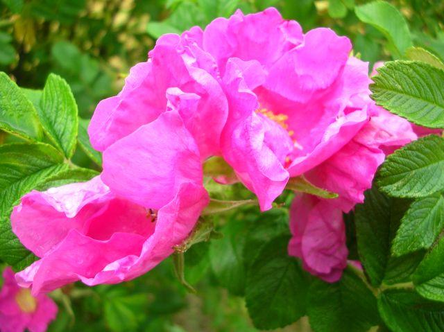 krzew ozdobny, kwiat, różowy, liście