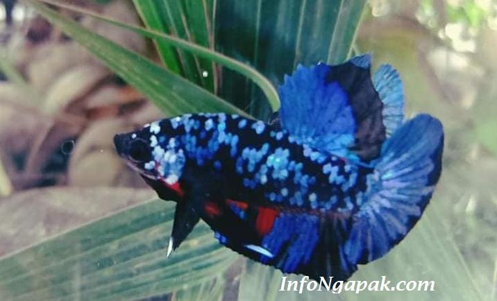Ciri Ciri Dan Harga Ikan Cupang Avatar Yang Perlu Anda Ketahui Dengan Mudah Infongapak Com