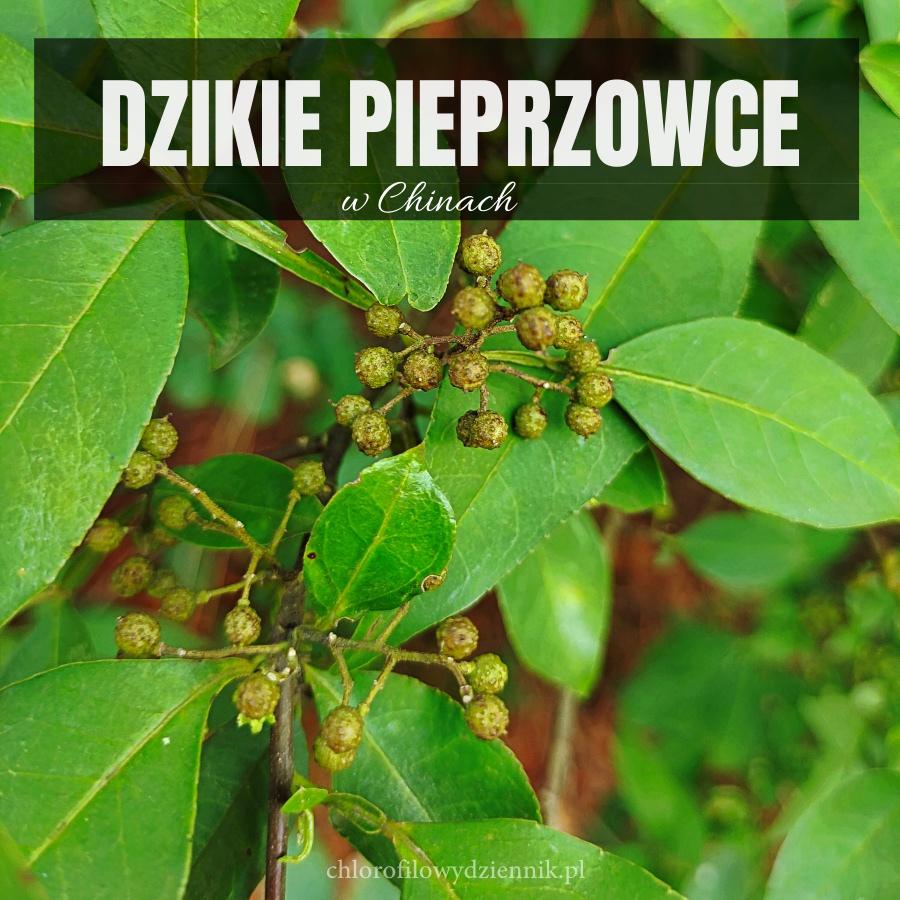 Pieprzowiec uzbrojony Zanthoxylum armatum dzikie żółtodrzew w chinach pieprz alternatywa przyprawy azjatyckie rosliny użytkowe drzewa pepper sichuan pieprz chiński syczuański