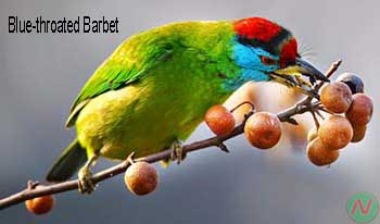 blue-throated barbet bird, বসন্তবৌড়ী
