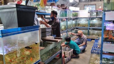 Tips dan Trik Budidaya Ikan Hias Air Tawar Langka dan Paling Menguntungkan