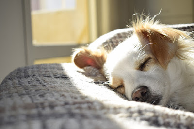 A brown and white dog sleeps in the sun on a grey blanket