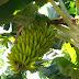 Banana produzida no Projeto Formoso pode ter registro de indicação geográfica