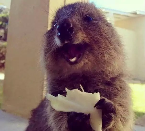 Adorable Pictures Of Quokkas, The Happiest Animals In The World