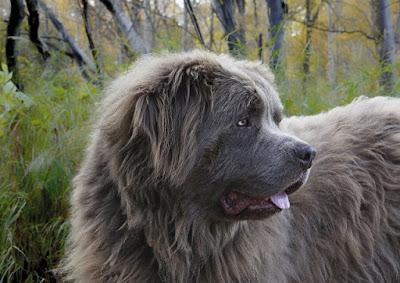 black dog breeds, black and white dogs