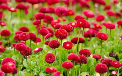 Papel de Parede Flores Vermelhas do Verão