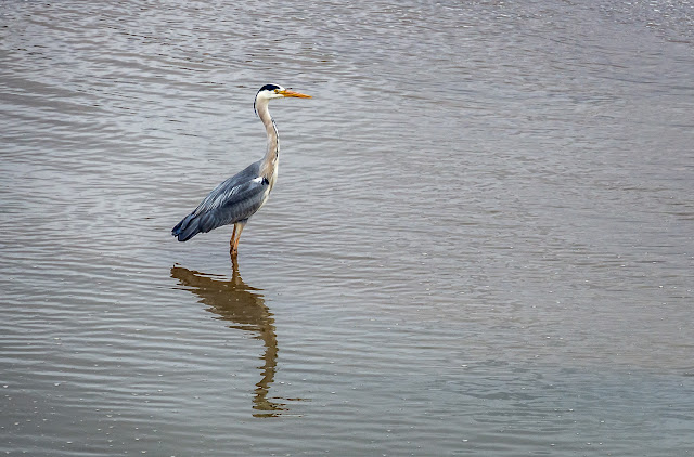 Photo of the heron in Maryport Basin
