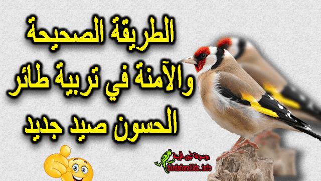 طريقة تثبيت طائر الحسون البري
