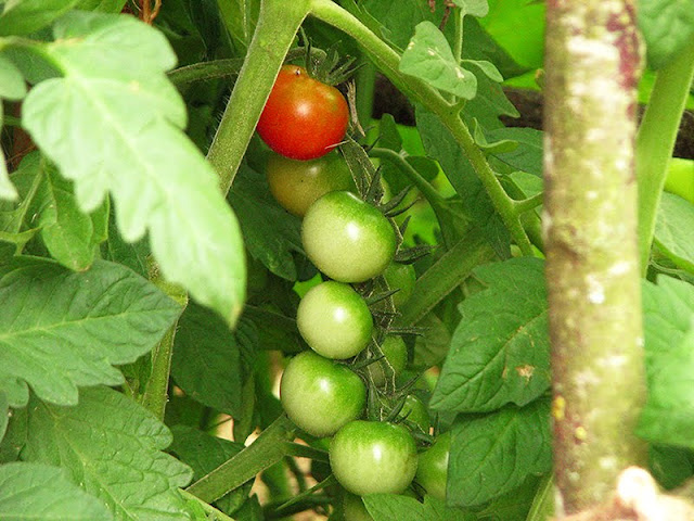 tomates cerises au jardin bio