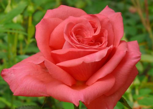 Freude роза сорт фото