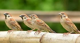 Seberapa Parah Polusi? Amati Saja Burung Gereja!