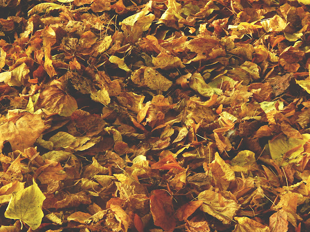 hundreds of fallen orange leaves