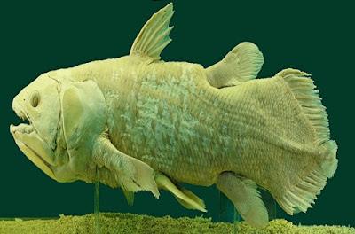 coelacanth-سمكة-الكهوف-الشوكية