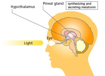 What gland produces melanin