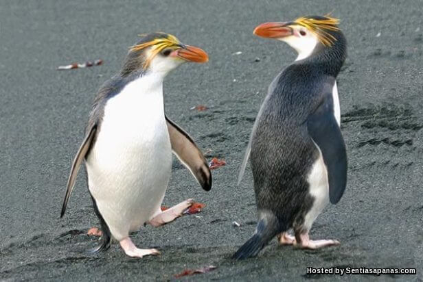 Penguin Royal (Eudyptes schlegeli)