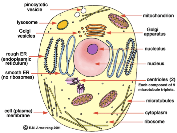 Px Simple Diagram Of Yeast Cell Fr Svg as well Fungal Hyphae Cells Cross Section Septum Bud Scar Mitochondrion Vacuole Nucleus Endoplasmic Reticulum Lipid Granule Membrane moreover Untitled likewise Plant Bcell Bvs Byeast Bcell moreover Frog Blood Smear X. on yeast diagram labeled