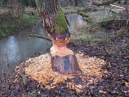 Drzewo podcięte przez bobry