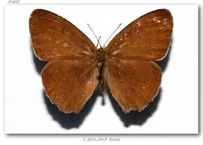 Mariposa hermes (Hermeuptychia hermes)