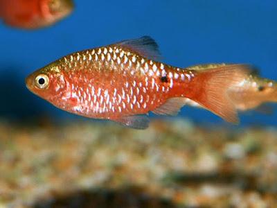 Ikan Barbir