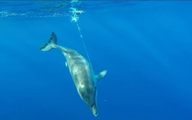 Delfin versucht trotz Angelschnur abzutauchen