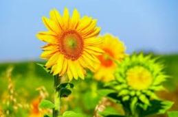 bunga matahari filosofi kebahagiaan