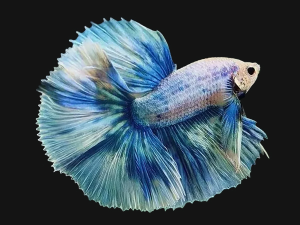 Ikan Cupang Grizzle - Grizzle Betta - Ikanhiasku