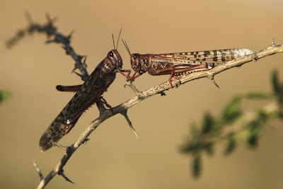 Locusts rest on a branch