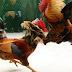 Tips dan Strategi Jitu Memenangkan Judi Sabung Ayam Online