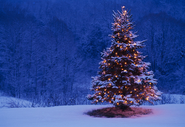 Photos of Christmas Trees in snow