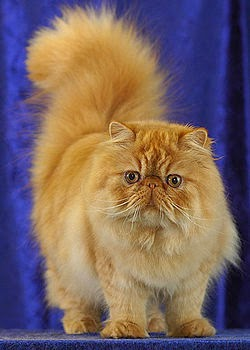 gato-persa-raza-caracteristicas