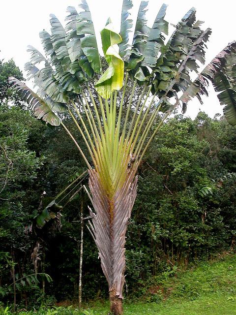 Ravenala madagascascariensis