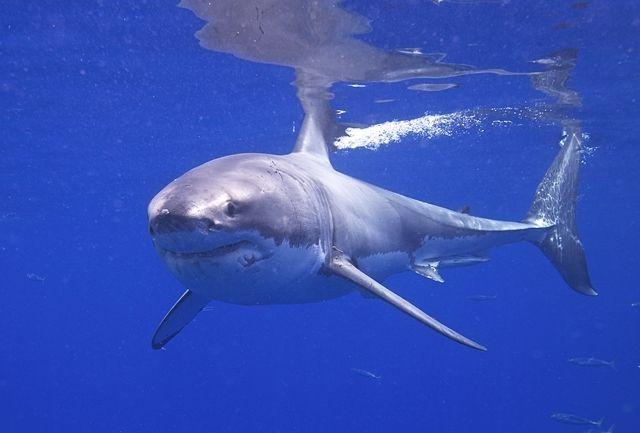 Jaula-Tiburón-Blanco