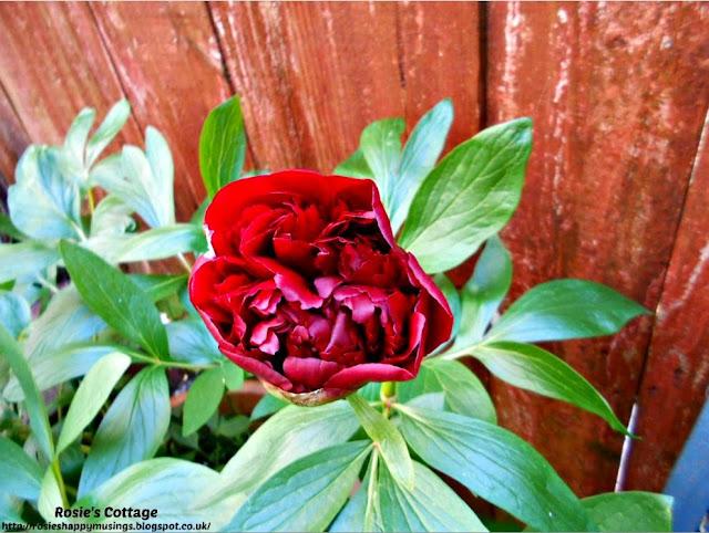 Crimson Red Peony Rose