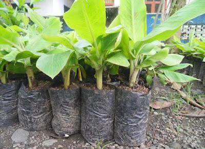 bibit pohon pisang unggul