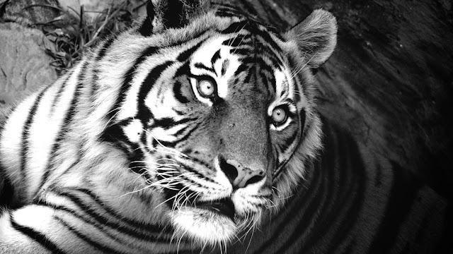 Tamu Harimau