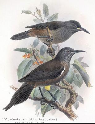 Moho-Braccatus ['O' O De Kauai (Moho braccatus)]