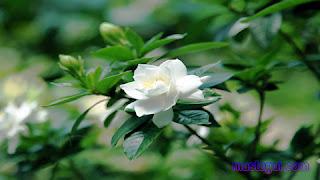 Tanaman Hias untuk Balkon Gardenia