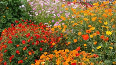 Cosmos, un universo de flores para el jardín