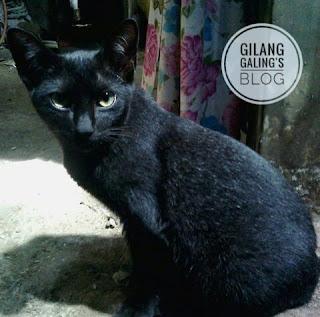 kucing abu abu tua
