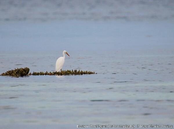 Pacific Reef Egret (Ardea modesta)