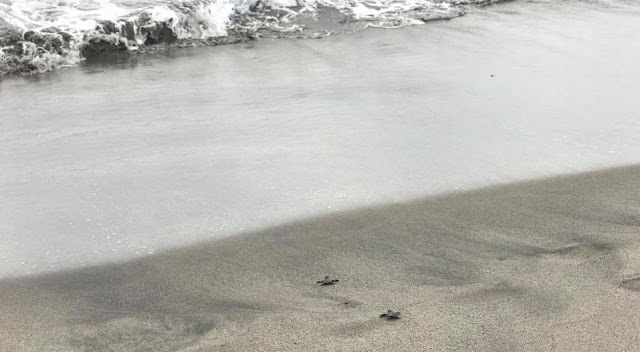 Turtles released to the sea