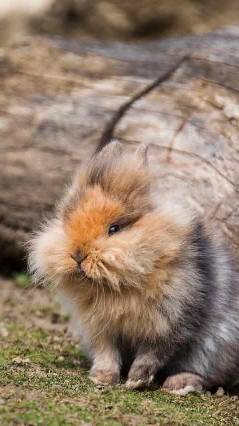 Thỏ Lông Xù