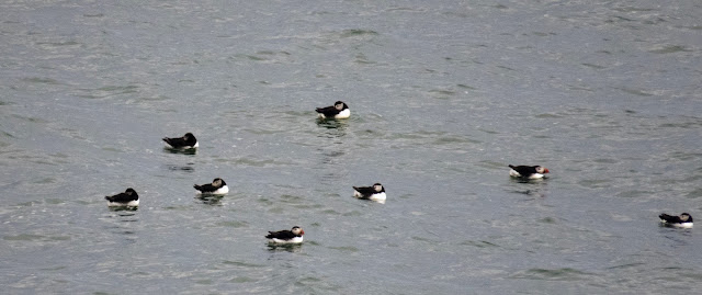 Puffins in the water near Iceland's Dyrhólaey Peninsula